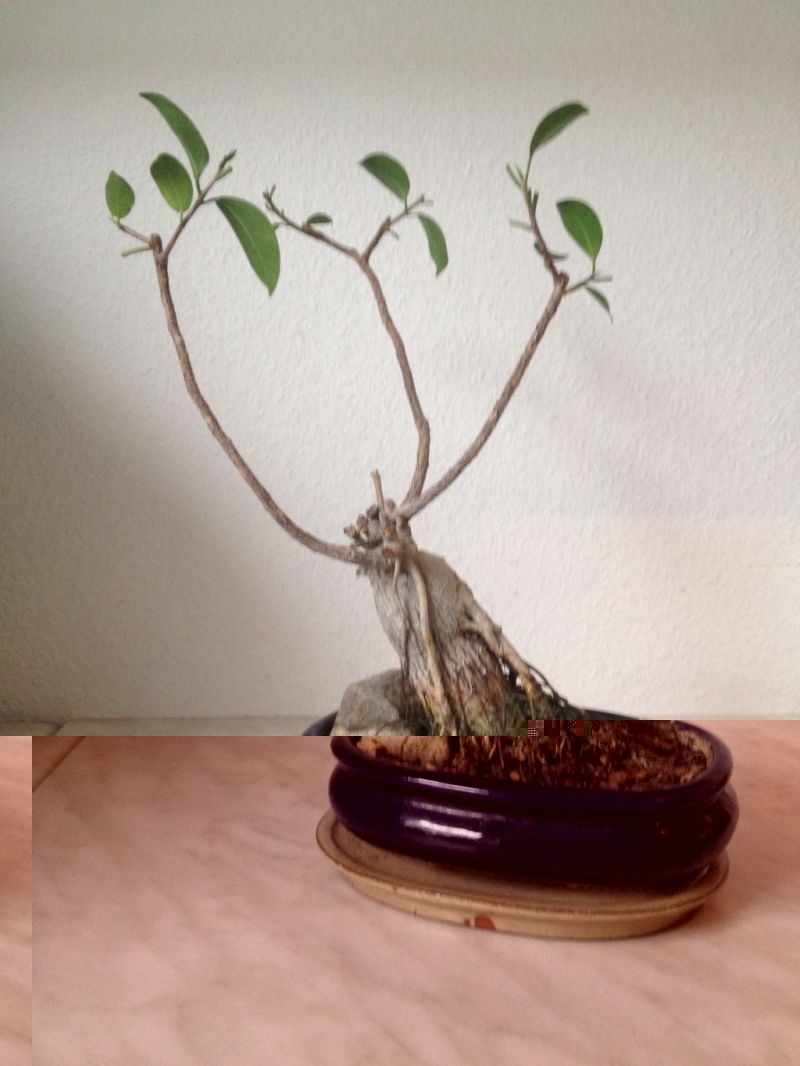 Ficus links.JPG