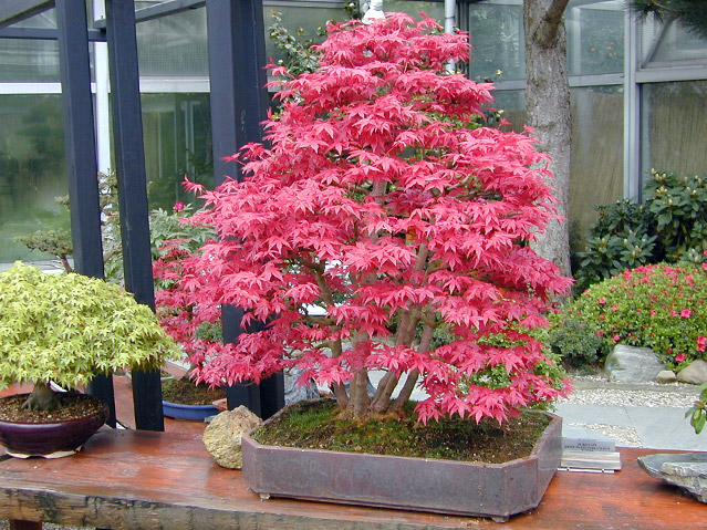 bonsai1gross.jpg