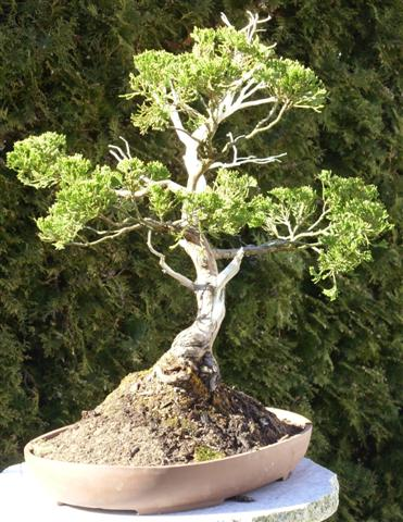 Bonsai 013 (Small).jpg