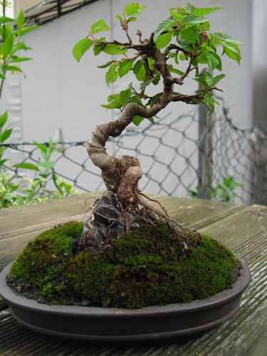bonsai felsen.JPG